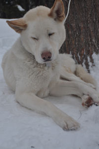 Okemo is our loveable hug-a-head Siberian Husky-Akita mix sled dog.