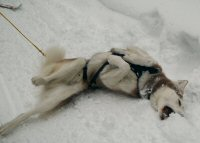 Sobo, in his dog sledding harness, rolls on his back, showing his true working dog tendencies.