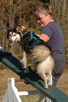 T-Bone, our resident small dog,  proved to be an adept agility dog at Mushing Boot Camp.