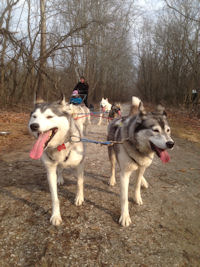 Lead dogs on the trail