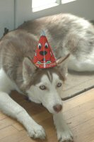 Sobo, our lead sled dog in training, trades his dog sled harness for a party hat.  He is also available for Bar Mitzvahs and Bat Mitzvahs, corporate functions, and birthday parties.
